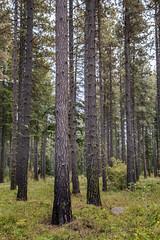 Soaring Timber (Don Thoreby) Tags: suncadiaresort cascades cascaderange cascademts cascademountains forest ponderosapines