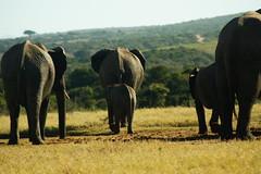 DSC03928 (Emily Hanley Photography) Tags: elephant elephants addo elephantpark nationalpark sa southafrica africa photography colour warthogs buffalo zebra waterhole rawimages raw nature naturalphotography animals animal