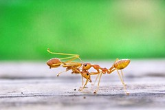 Might (Hridoy_Tanveer) Tags: color ant power might canon 60d macro photography bangladesh reversemacro canon60d candid