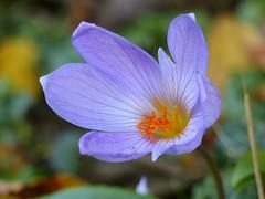 Crocus nel mese di ottobre (libra1054) Tags: krokus crocus croco blumen flores fiori flowers fleurs flora macro garden garten giardino jardim jardin jardn outdoor