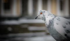 White dove (alexandrsivaev) Tags: whitedove a7rm2 stpetersburg dove