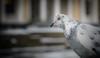 White dove (alexandrsivaev) Tags: whitedove a7rm2 stpetersburg dove