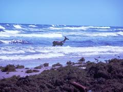 Padre Island Deer in Surf (BirdWatcher6723) Tags: beaches deer gulfs mammals nature padreisland texas unitedstates water wildlife