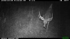 IMG_0495 whitetail buck (starc283) Tags: gamecamera whitetail deer nature wildlife reconyx starc283