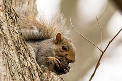 untitled-76.jpg (Andy-Anderson) Tags: sciuridae wildlife nature newjersey animals mammal fall loantakabrook easterngraysquirrel autumn nj sciuruscarolinensis