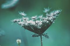 Sterne finden (***toile filante***) Tags: plant pflanze poetic poetisch macro makro dreamy nature natur dof bokeh