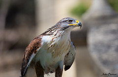 Falcon (JOAO DE BARROS) Tags: falcon bird animal zoo joo barros