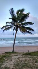 O Coqueiro Solitrio  <|> The Lonely  Coconut Tree (ladgon) Tags: praia praiadoflamengo beach oceanoatlantico ocean paradise salvador bahia