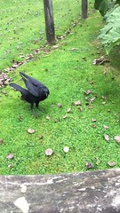 Bob The Crow (Marc Sayce) Tags: bob the crow corvid rook raven jackdaw