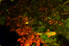 (Mori.Kei) Tags:   carp  water  reflection   red green   kamakura japan