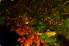 紅葉を泳ぐ (Mori.Kei) Tags: 水 鯉 carp 水面 water リフレクション reflection 赤 緑 red green 長谷寺 鎌倉 kamakura japan