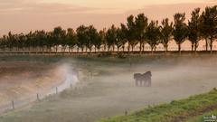 Stay together in the fog (BraCom (Bram)) Tags: bracom sunrise fog mist zonsopkomst fall autumn herfst paard horse trees bomen fence hek dike dijk sloot ditch dirksland goereeoverflakkee zuidholland nederland southholland netherlands holland canoneos5dmkiii widescreen canon 169 canonef24105mm bramvanbroekhoven nl