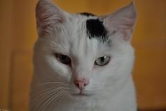 Craquinette (Mystycat =^..^=) Tags: cat chat gato gatto kitty katze flin animal mammifre craquinette