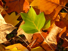 green leaf (Jörg Paul Kaspari) Tags: trier palastgarten liriodendron tulipifera liriodendrontulipifera tulpenbaum herbstfärbung autumncolor herbst autumn fall greenleaf