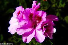DSC_0481 (Fabio Brenna) Tags: flower flowers fiori fleurs flores colors orchid orchidea orchidee orchids orqudeas orchides