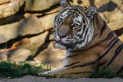 (Light Echoes) Tags: sony a6000 2016 fall atumn november philadelphiazoo zoo philadelphia mammel carnivore feline bigcat tiger amurtiger siberiantiger
