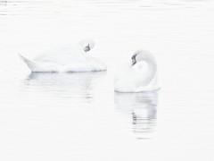 The two of us (polletjes) Tags: zwaan zwanen swan swans vogel vogels watervogels birds oiseau oiseaux water wasser eau wit weiss white blanc shadow shade schaduw reflectie reflection weerspiegeling natuur nature