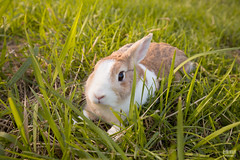 IMG_1611.jpg (ina070) Tags: animals canon6d cute grass outdoor outside pets rabbit rabbits