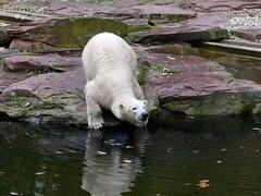 Vera - Charlotte - Eisbren - Tiergarten Nrnberg (ElaNuernberg) Tags: eisbrcharlottealiaslottchen eisbrvera tiergartennrnberg nurembergzoo zoo zooanimals zootiere eisbr polarbear orsopolare ourspolaire ijsbeer jkaru niedwiedpolarny ursusmaritimus