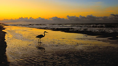 Enjoying the Sunrise (22799) (Mike S Perkins) Tags: ftmorgan landscape yellow orange sunrise sea mar ocean gulfofmexico coast gulfcoast waves beach shore clouds blue bird greatblueheron pool water reflect gulfshores
