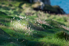 Patch of Flowers (derriesen) Tags: scilly stmartins vacation nikondf 13520dc bokeh nature green flowers gras