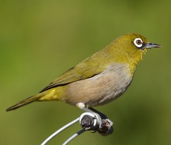 Cape White Eye Franschhoek tagged (peterleanranger) Tags: nikonpassion fantasticnature fantasticwildlife fantastic nature wildlife featheryfriday franschhoek africa southafrica zosterops virens zosteropsvirens zosteropidae passeriformes aves capewhiteeye whiteeye 3000v120f zosteropscapensis