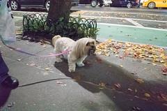 Chloe, Lhasa Apso (Charley Lhasa) Tags: ricohgrii grii 183mm 28mm35mmequivalent iso12800 ¹⁄₆₀secatf28 0ev aperturepriority pattern noflash r010667 dng uncropped taken161126185809 uploaded161201235555 3stars flagged adobelightroomcc20157 lightroomcc20157 adobelightroom lightroom chloe lhasaapso lhasaapsos dog dogs dogsmet sidewalk walk night evening upperwestside uws manhattan newyorkcity nyc newyork ny tumblr161201 httpstmblrcozpjiby2fnkzqz