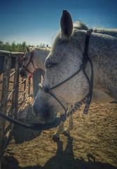 gray lady (joditbobo) Tags: horse halter gray