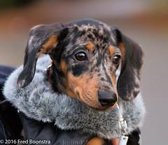 """""""Jetje"""" showing Puppies Winter Fashion 2016 :)) (A.J. Boonstra) Tags: teckel dachshund dackel puppy dog brindleminiaturedachshund getijgerdedwergteckel canoneos canon70d canon sigma sigma18300mmf3563dcmacrooshsmc dapple wienerdog dwergteckel"""