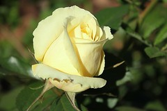 Yellow Rose in soft shades..vir jou Con (Pixi2011) Tags: roses flowers flora nature