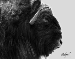 Bison head (apopoetic) Tags: bison history native american cruel hunting nikond5300 nikonphotography wildlife nature biology