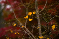 (qrsk) Tags: maple plants nature autumn fall leaves leaf tokyo japan