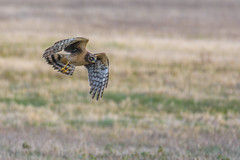 Northern Harrier (PhillymanPete) Tags: bird wildlife nature northernharrier birdofprey raptor grayghost field springfield newjersey unitedstates us hawk nikon d7200 harrier mercersodfarm