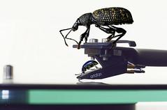 (kunstschieter) Tags: beatles macromondays beetles macro music