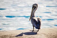 IMG_0395 (katlion01) Tags: bvi british virgin islands pelican