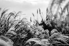 DSC_6152 (Frankie Tseng ()) Tags: 101 taipei101 taipei taiwan yms yangmingshan yangmingmtn mtn sunset smog haze landscape scenery view silver grass silvergrass season