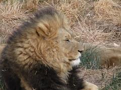 Lwe_3 (@ FS Images) Tags: lwe langemhne liegend rudelfhrer vonderseite canon eos 600d outdoor landschaft natur raubtier rudel sdafrika safari tiere lwen