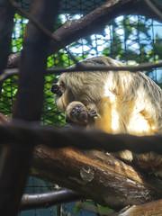 Cleveland Metroparks Zoo 06-05-2014 - Black Howler Monkey 10 (David441491) Tags: clevelandmetroparkszoo blackhowlermonkey monkey baby