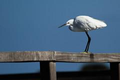 Little egret (jan.stefka) Tags: canoneos7d egrettagarzetta stagnodisanteodoro italie italy littleegret 2016 volavkastribrita sardegna sardinie