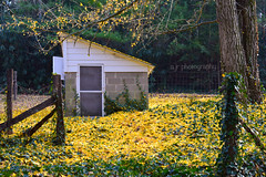 Yellow Ginko Leaves (alex.jr) Tags: carlsandburg poetry poets house leaves yellow ginko fall america historic