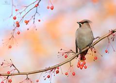 Jaseur Boréal - Bohemian waxwing -  Bombycilla garrulus (Maxime Legare-Vezina) Tags: bird oiseau nature wild wildlife animal ornithology fauna faune biodiversity winter hiver canon