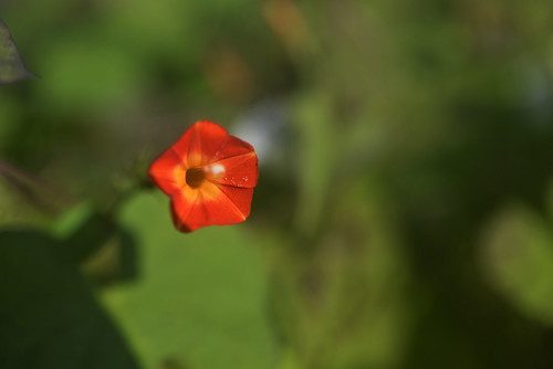 Little Red Flower