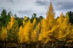 fall tamaracks (muskokaTIMe) Tags: tamarack larch yellow gold trees deciduous conifer