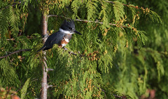 Looking For Breakfast (AnyMotion) Tags: beltedkingfisher gürtelfischer megacerylealcyon bird vogel tree baum morningsun morgensonne 2016 anymotion travel reisen nature natur animal tier wildlife porthardy vancouverisland british columbia canada kanada 7d2 canoneos7dmarkii npc