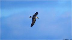 Franklin's Gull (Leucophaeus pipixcan) - 1W with some retained juvenile plumage (Steve Arena) Tags: frgu franklinsgull gull ebirdrarity rare truro headofthemeadow massachusetts barnstablecounty 2016 nikon d750 leucophaeuspipixcan
