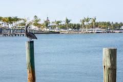 _MG_7529 (Austin.Cox) Tags: birds brownpelican eventstrips floridakeys nature