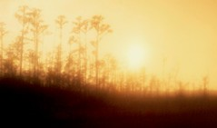 Landscapes  197 (Charlie Hutchins) Tags: trees sunset sky sun nature silhouette yellow horizontal forest landscape outdoors photography still woods natural dusk nobody evergreen vegetation cypress thick cypresstrees conifers coniferous frontview dense vast temperate colorimage