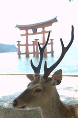 Deer in front of floating shrine Miyajima 2