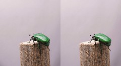 Gif animation of flight of Rhomborrhina unicolor, stereo cross view (Mushimizu) Tags: 3d cross beetle stereo animation gif gifanimation dronebeetle  rhomborrhinaunicolor