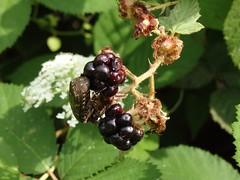 Appetite (bonjour_de_y5i) Tags: plant fruit insect blackberry rubusfruticosus flowerchafer protaetiabrevitarsis